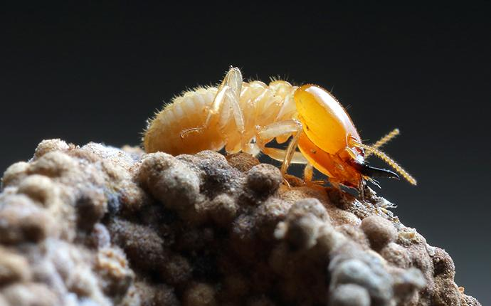 termite on a rock