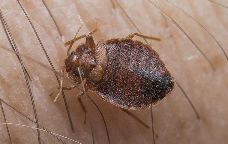 bed bug on skin