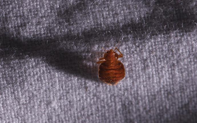 bed bug crawling on sheets at night in marlboro
