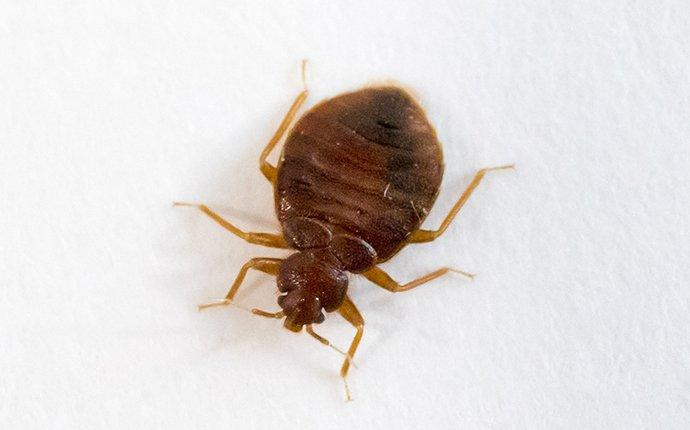 bed bug crawling on pillow