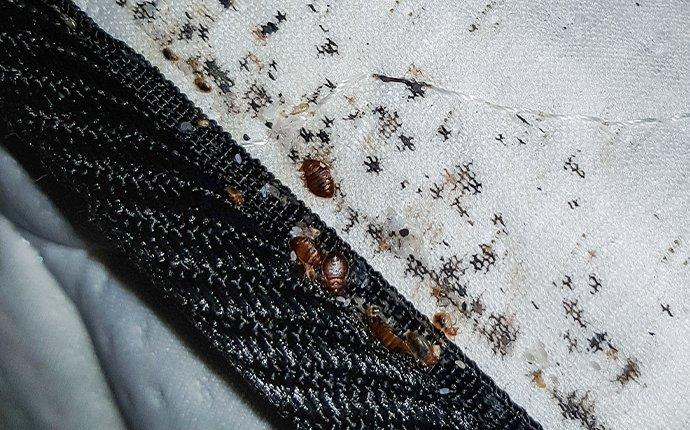 a bed bug infetation on a mattress