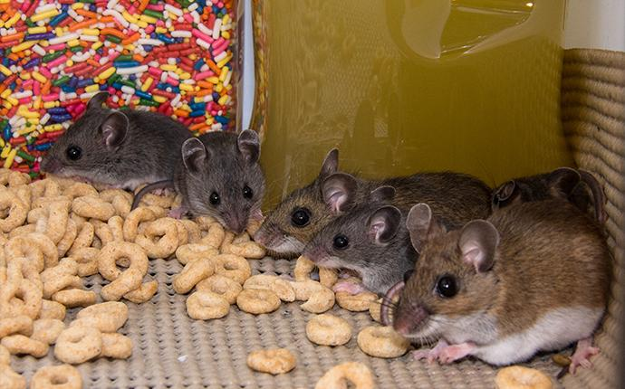 mice seen eating cheerios