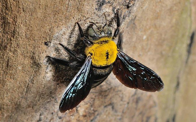 a carpenter bee chewing a whole in a tree trunk