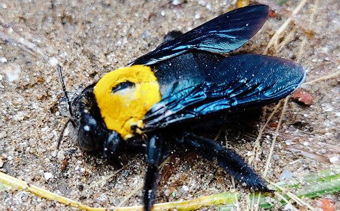 carpenter bee on the ground