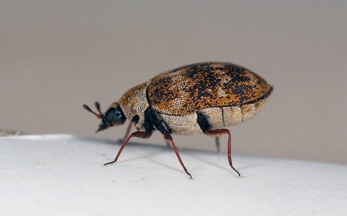 carpet beetle in home on flooring