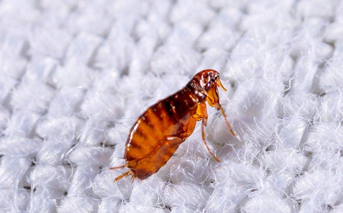 a cat flea crawling on fabric