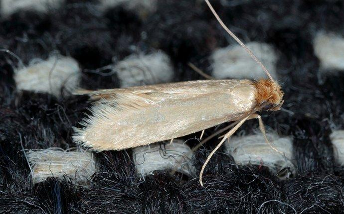 clothes moth on a sweater