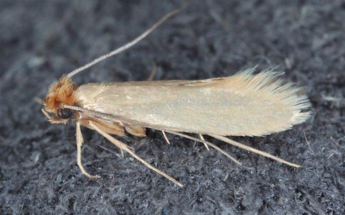 a clothing moth on dark fabric