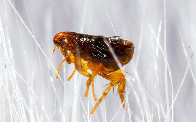 a flea in dog hair
