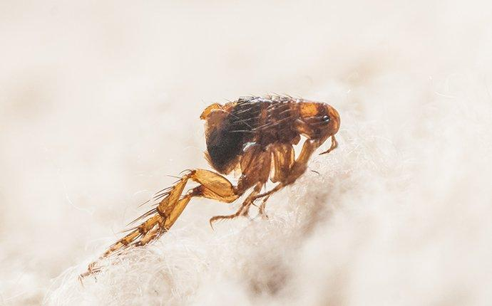 a flea crawling on fabric