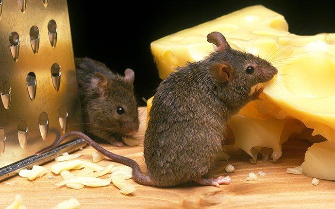 two mice eating cheese in pantry