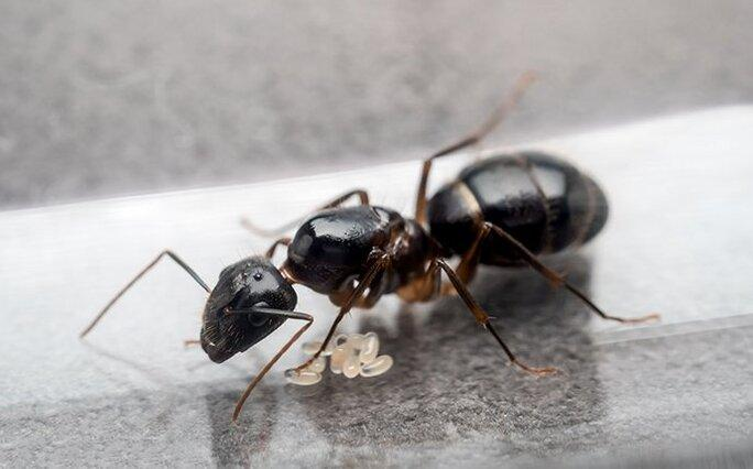 carpenter ant in the kitchen