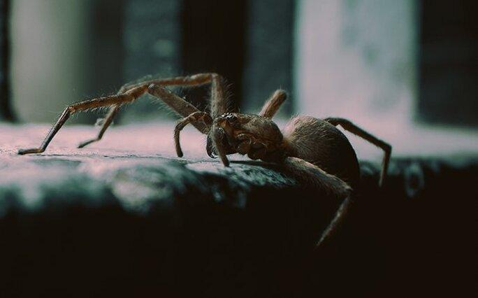 house spider coming inside
