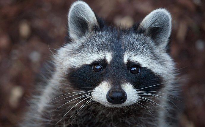 raccoon outside