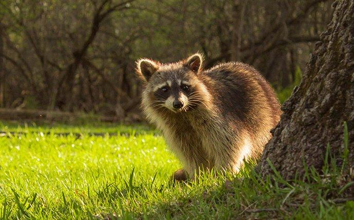 racoon near a tree