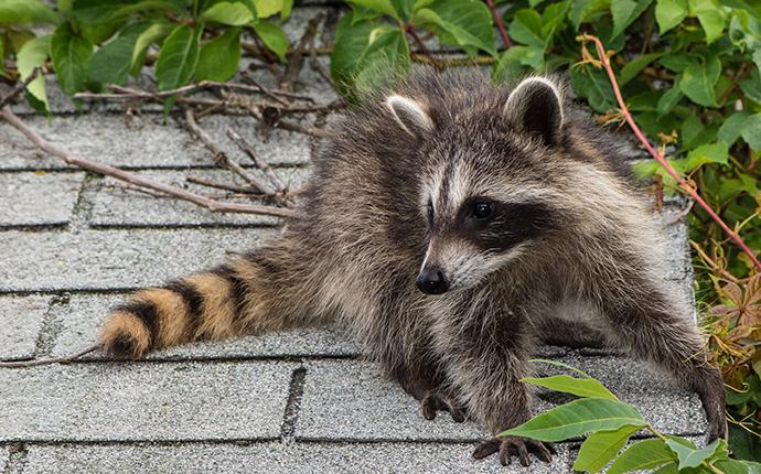 racoon sitting on a roof near a tree