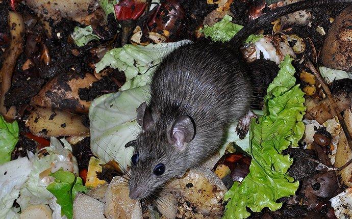 rodent eating lettuce