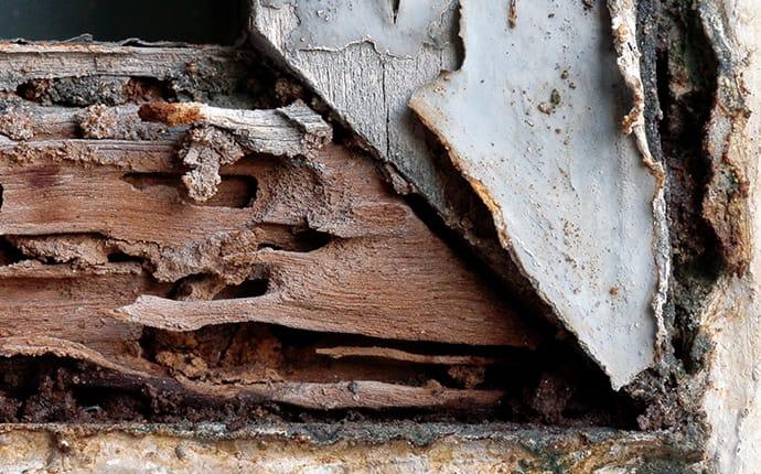 termite damage in a wooden frame of a building in cadillac maine