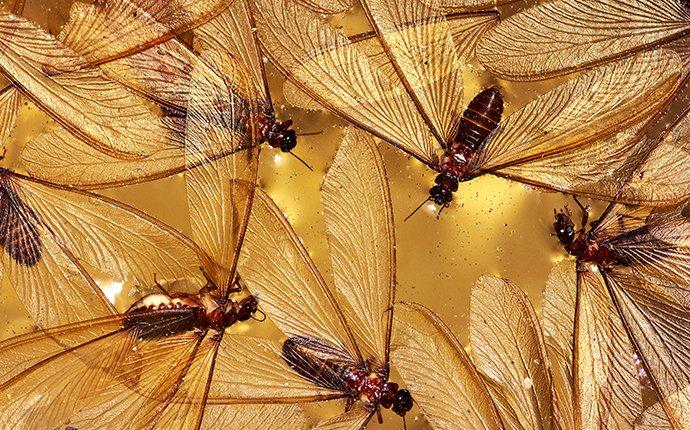 termite swarmers on glass
