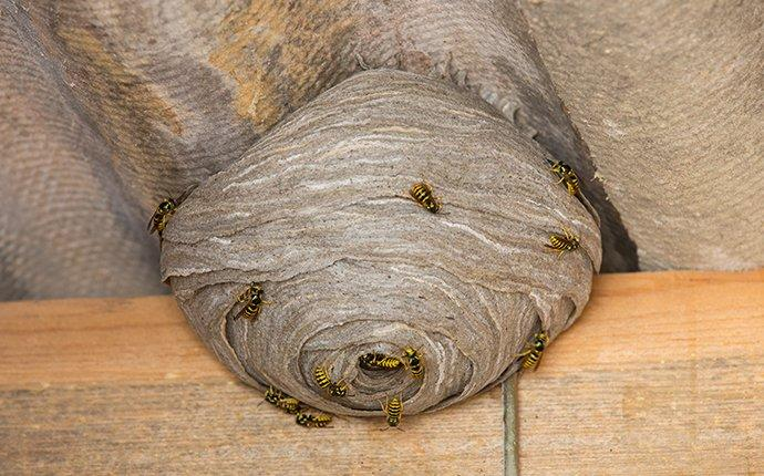 wasp nest under eaves