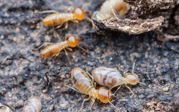 termite trenching around a brick township home