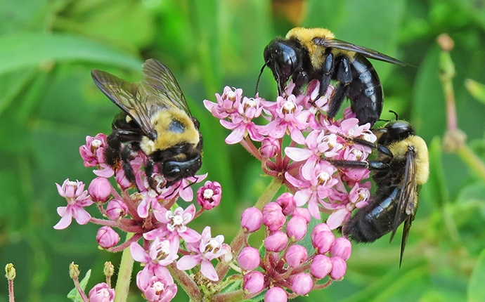three carpenter bees outside