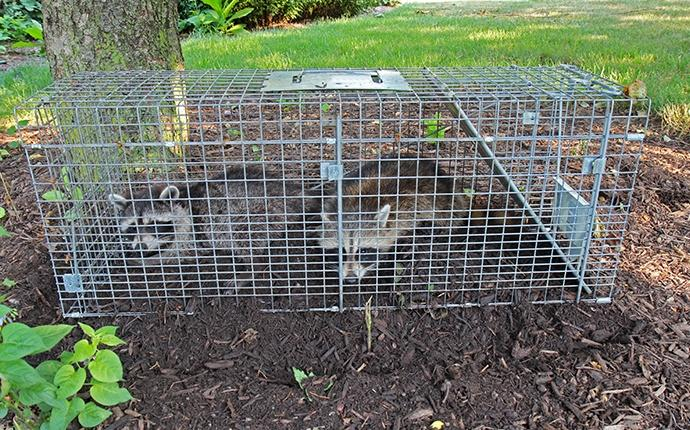 two raccoons in a trap