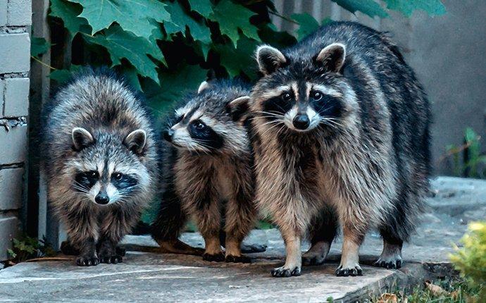 raccoon family in an elizabeth yard