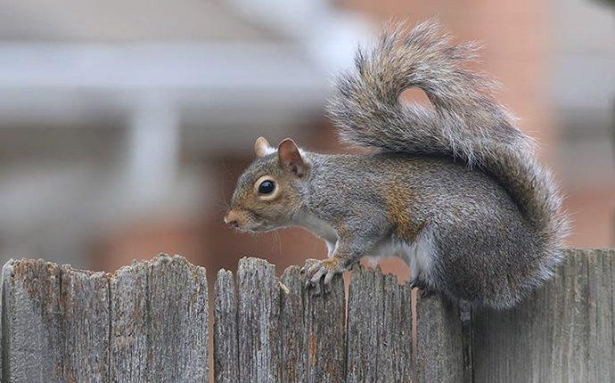 a gray squirrel on a fence in summit