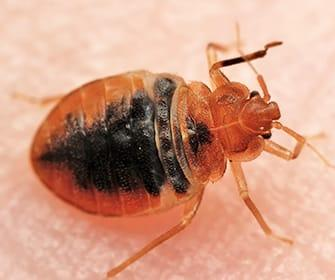 a bed bug on a persons leg