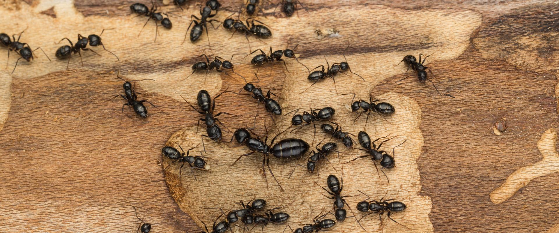 close up of carpenter ants