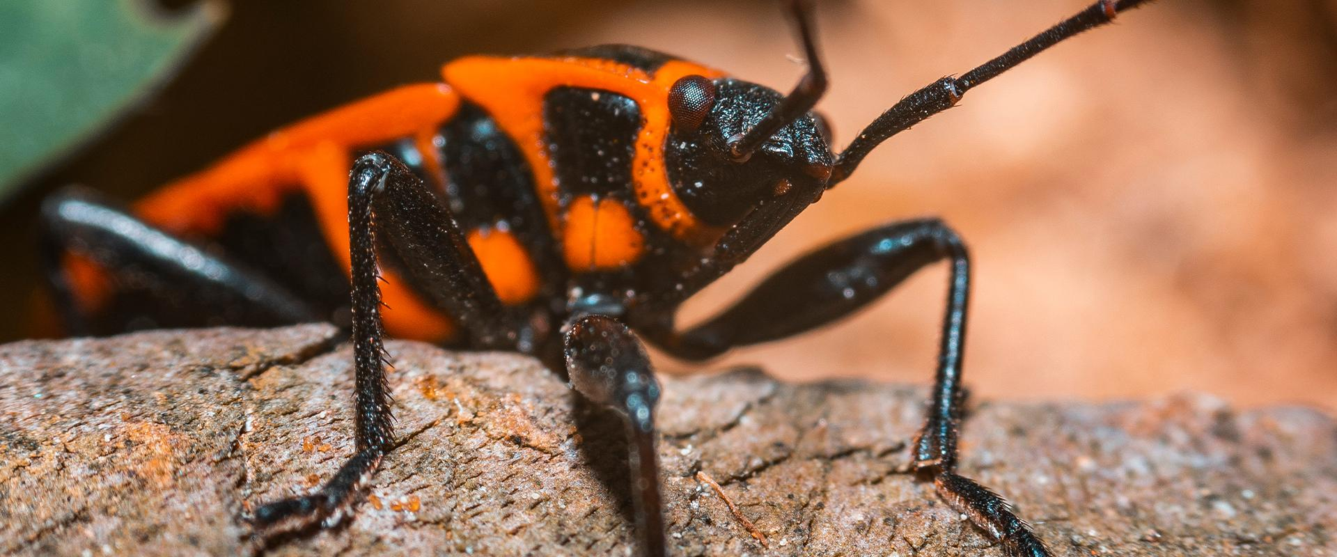 boxelder bug on a branch