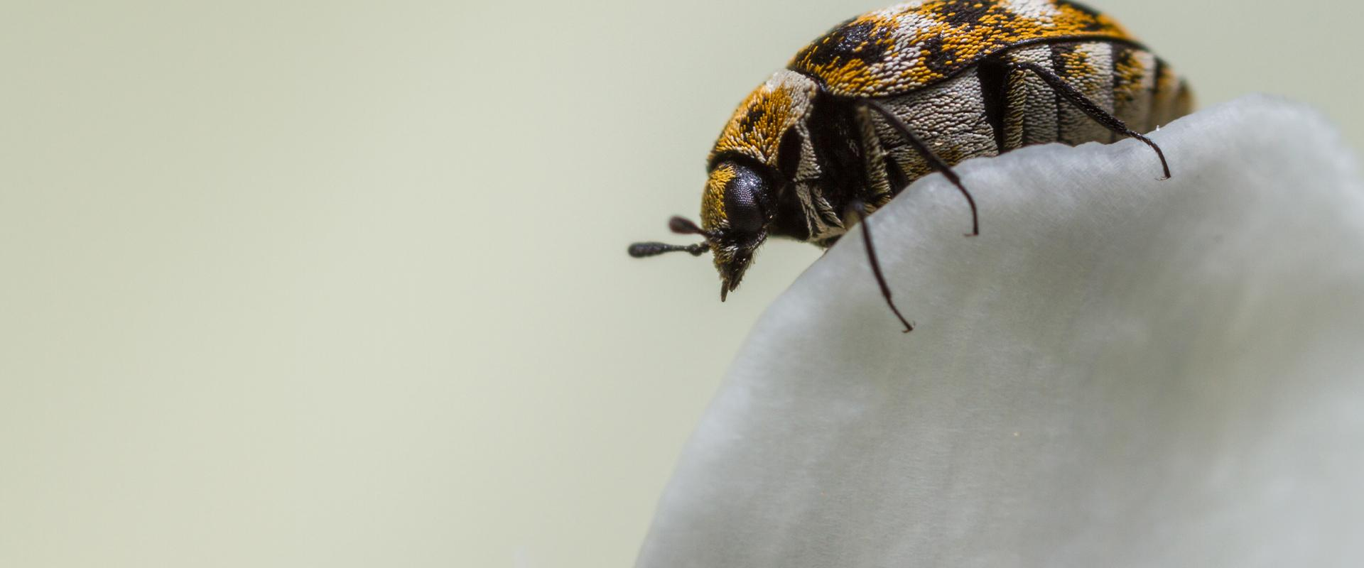 carpet beetle on petal
