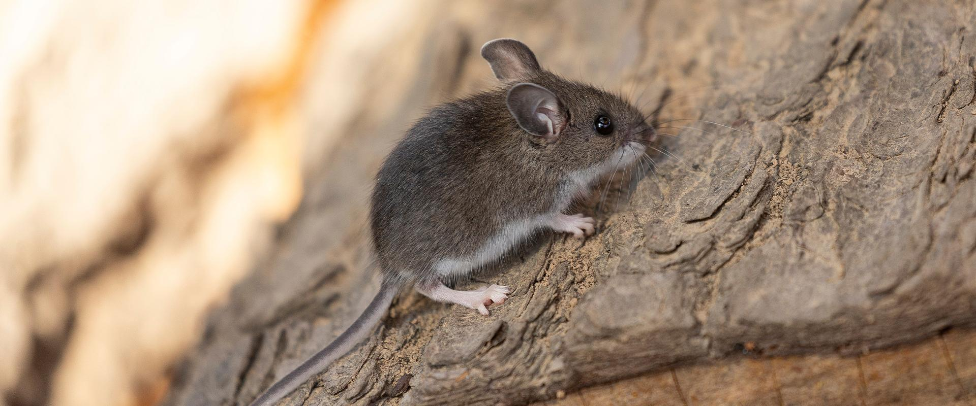 mouse on a log