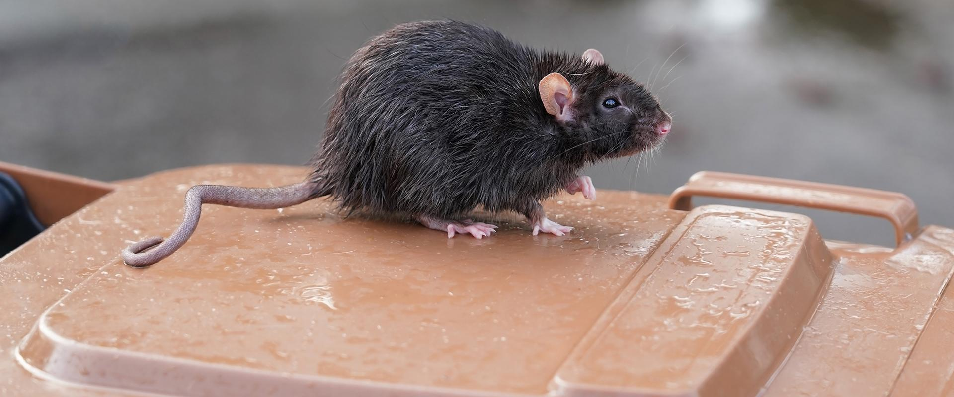 rat on trash bin lid