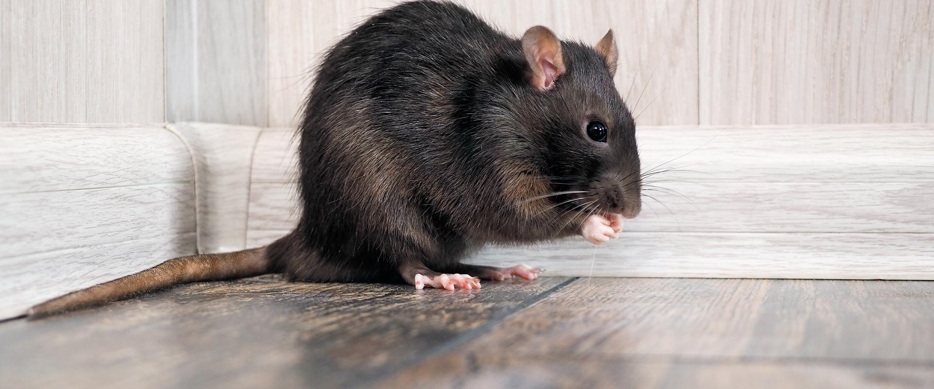 black rat on kitchen floor