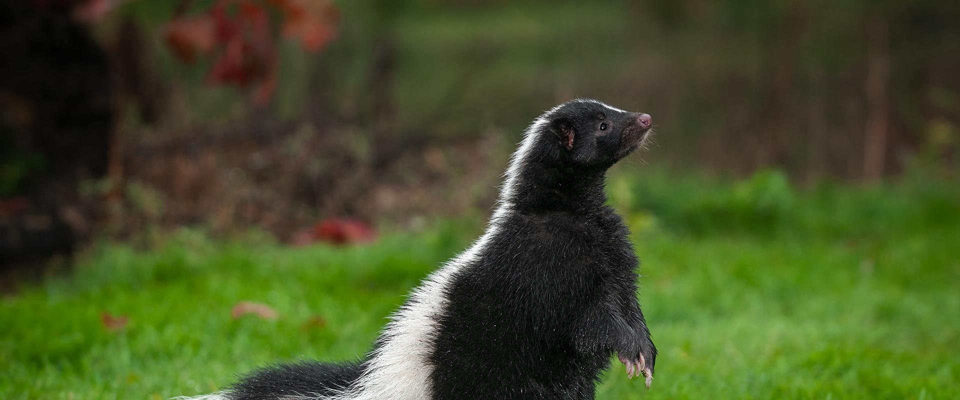 skunk standing in the grass