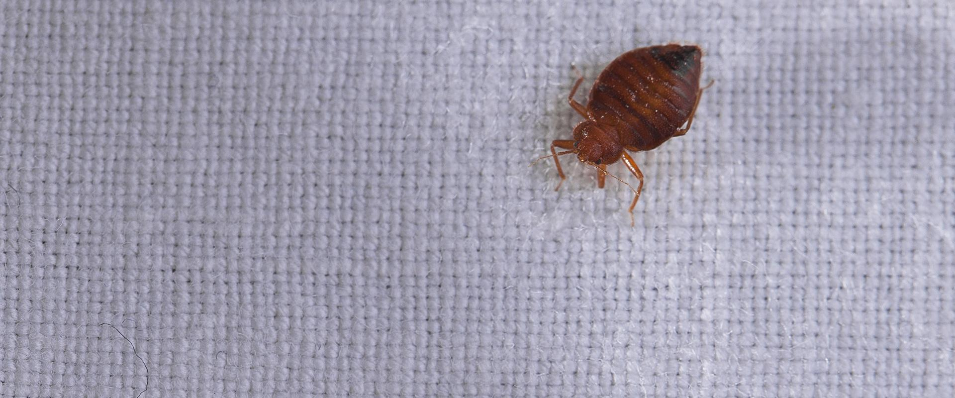 a bed bug on a sheet