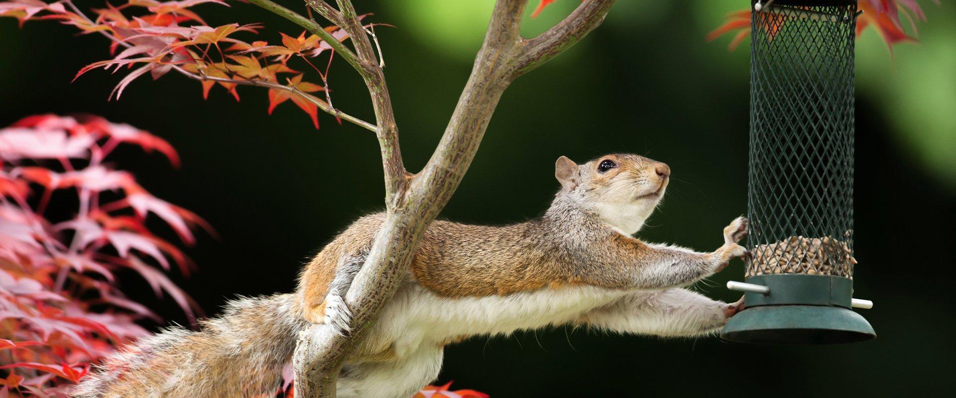 squirrel eating bird food