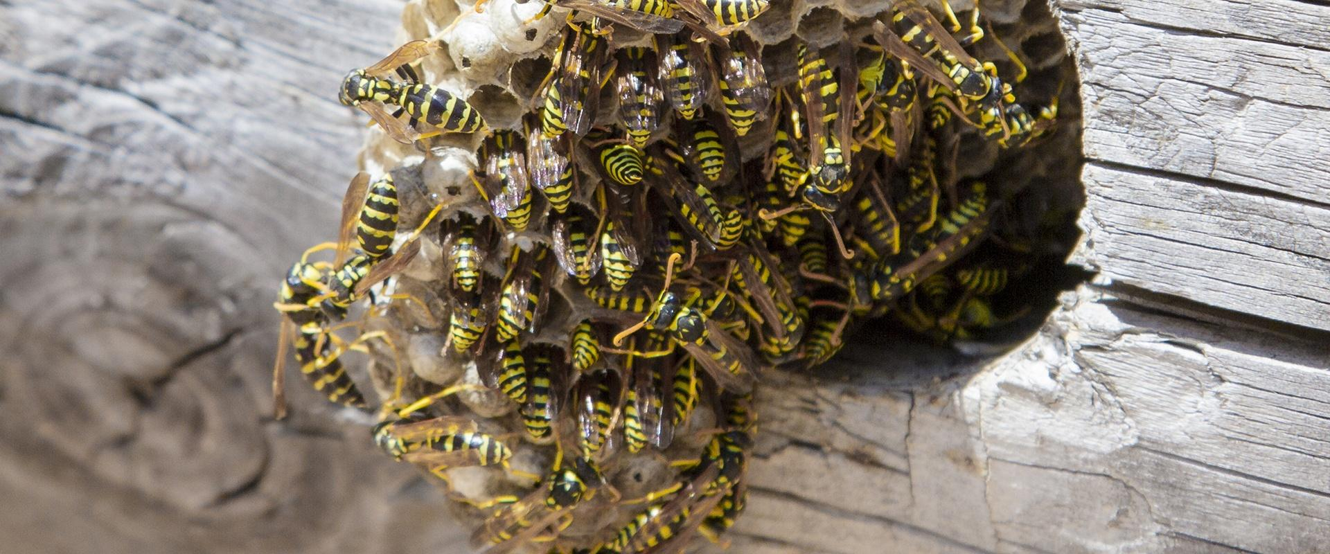 a colony of wasps on their nest