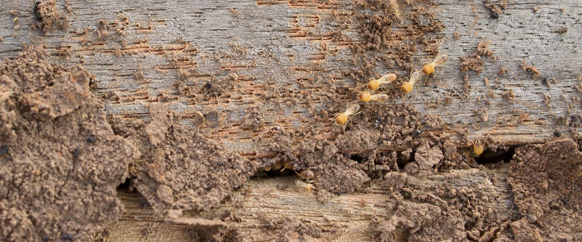 termites burrowing under a house
