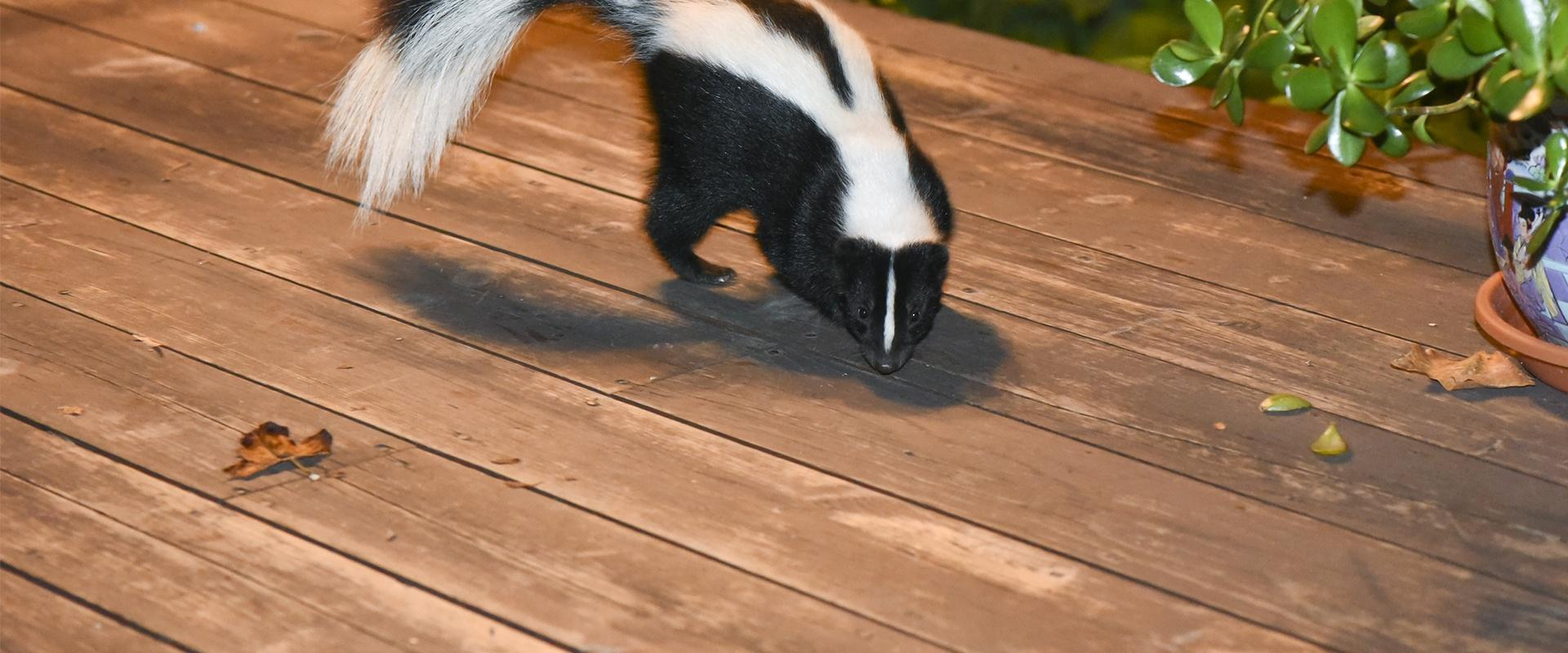 a skunk on a homes patio