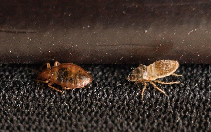 bed bugs crawling on upholstery in miami florida