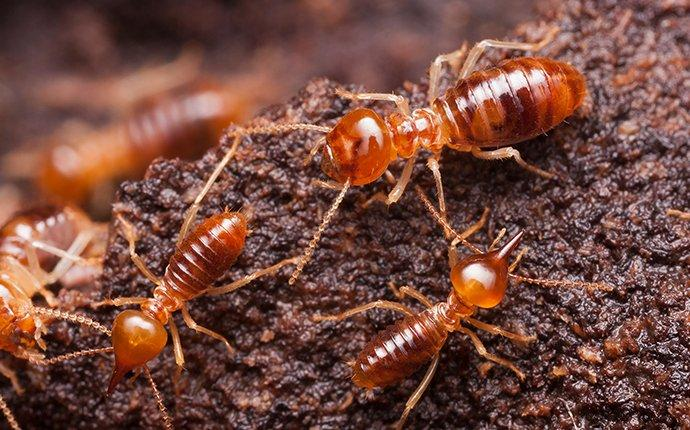 termites chewing wood in a miami home