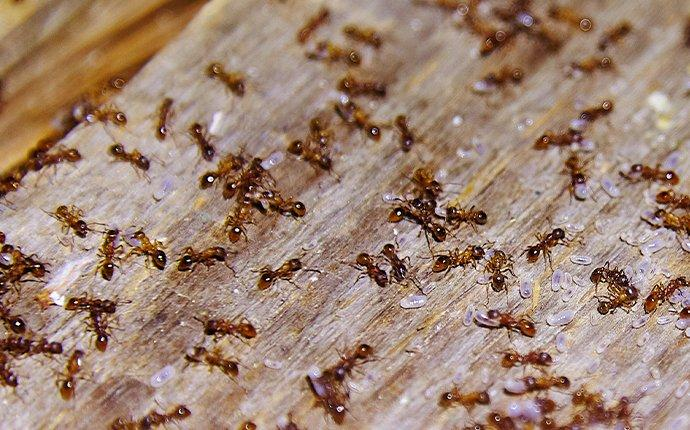 ant infestation in a new milford home