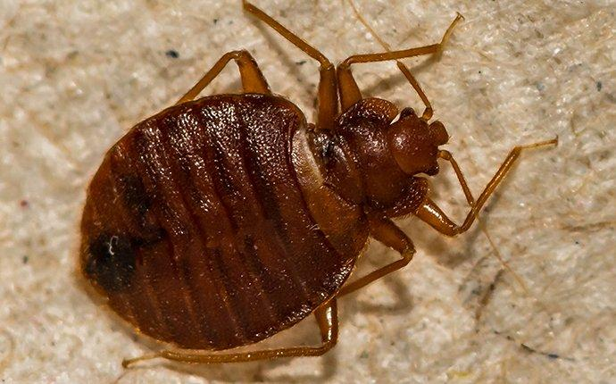 bed bug crawling on bedding in north arlington