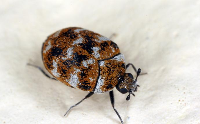 close up of carpet beetle