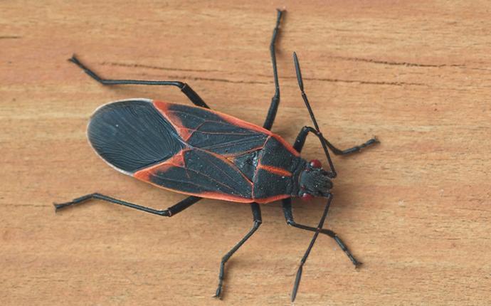 boxelder bug on a wood plank