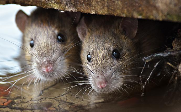 close up of norway rats