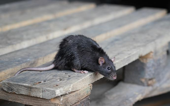 rat on a wooden pellet